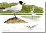 Black-headed gulls, print from watercolour painting