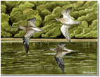 Curlews on the River Fowey, Cornwall, printed from a watercolour painting by Peter Thwaites