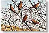 fine art print from watercolour painting of Waxwings by Cornish artist Peter Thwaites