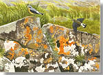 Wheatears on Ardnamurchan, fine art print from watercolour painting by Peter Thwaites