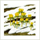 Winter aconites, prints by Peter Thwaites