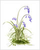 Wild Bluebells, fine art print from watercolour painting