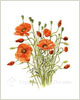 Field Poppies, fine art print from painting by Peter Thwaites
