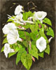 Greater Bindweed, fine art print from watercolour painting by Peter Thwaites