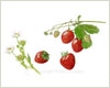 Strawberries, fine art print from watercolour painting by Peter Thwaites